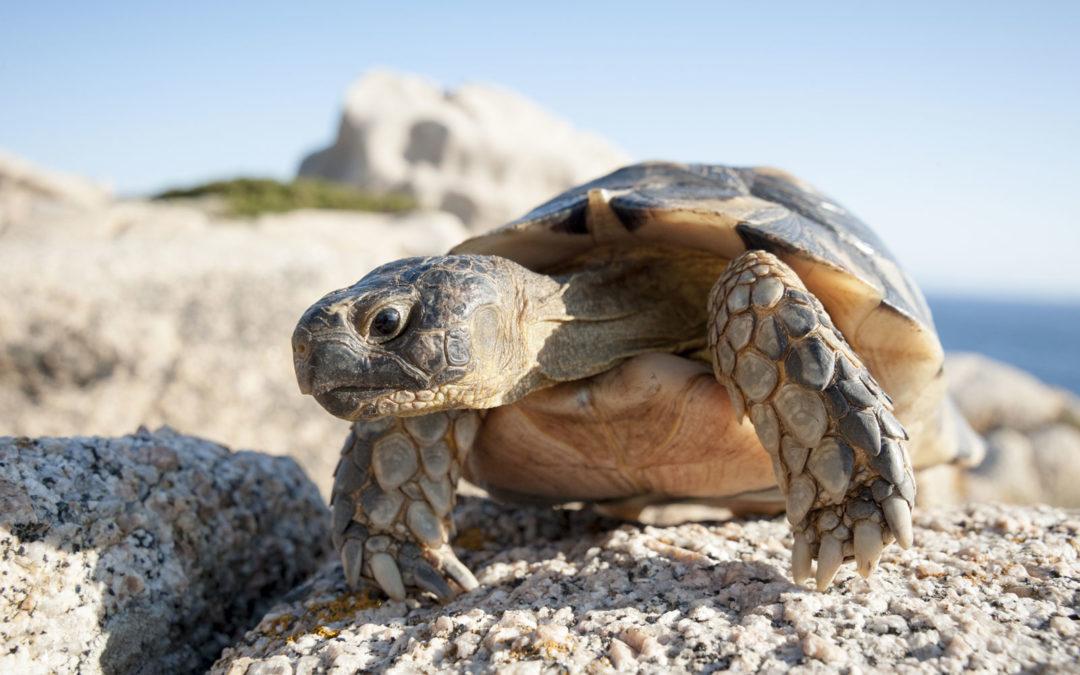 tartarughe della Sardegna testuggini